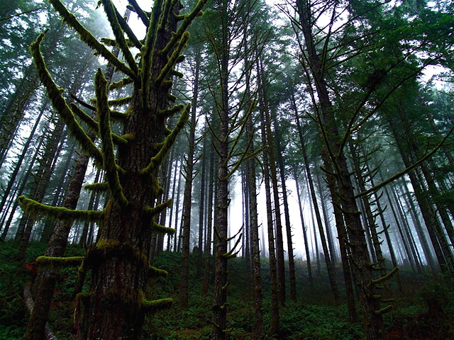Mary's Peak Forest