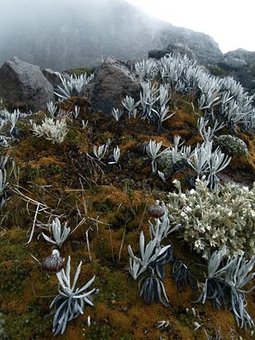Cayambe Lichen