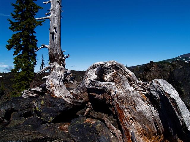 McKenzie Pass Tree
