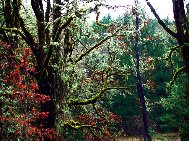 Oregon Oaks