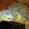 'Nickel' Sea Turtle Puppet