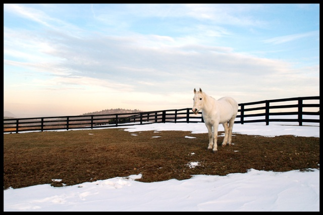 White horse in winter, Sherman, CT