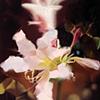 Naked Lady Lily
