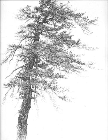 Wind Pine