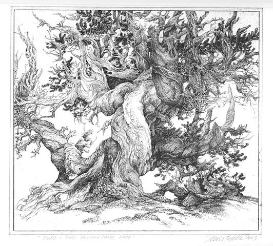 """""""Fudo - the Bristlecone Pine"""""""
