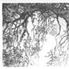black Oak  at Dry Creek