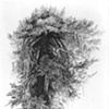 """Medicine Tree, The Mantled Fir"""