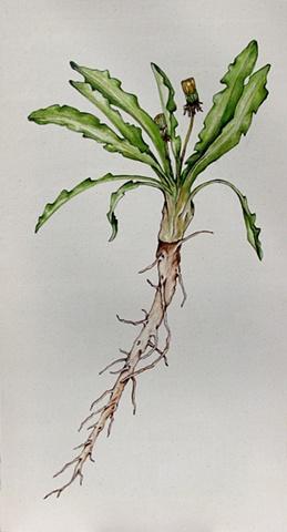 Edible Botanicals: Dandylion