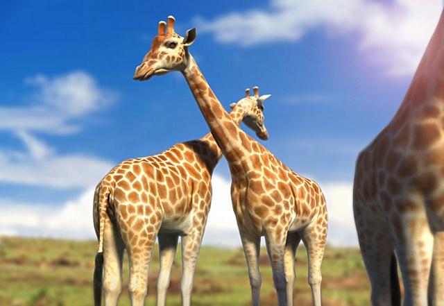 giraffe for animalia wide