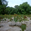 Maple Seedlings Sprouting in Recently Flooded Area, Hookset, New Hampshire