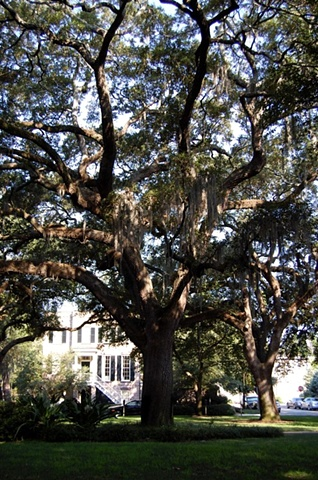 Savannah Oak