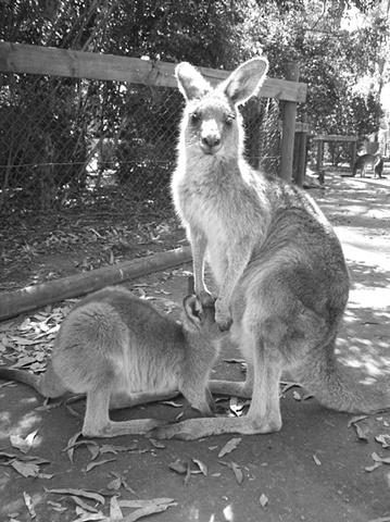 Kanga and Roo