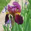 purple flower folding away