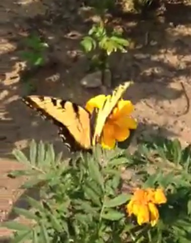 Yellow Swallowtail and Marigolds
