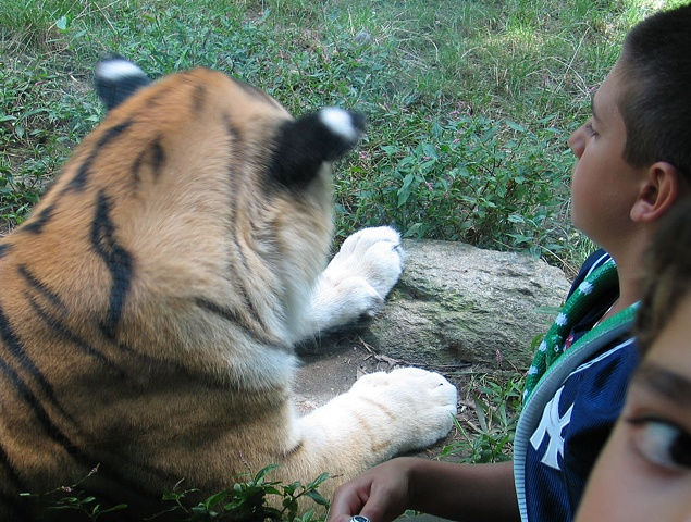 Kids and Tiger, Bronx Zoo 2006