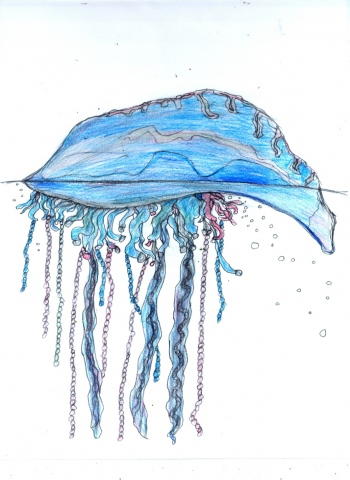 Portuguese Man of War
