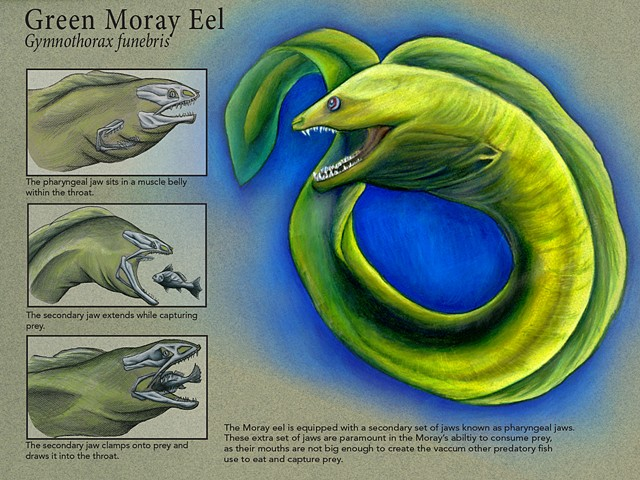 Green Moray Eel Scientific Plate