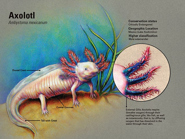 Axolotl Marine Scientific Plate