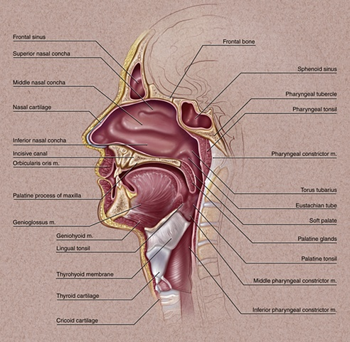 Facial Anatomy & Instruction Oncology Today,