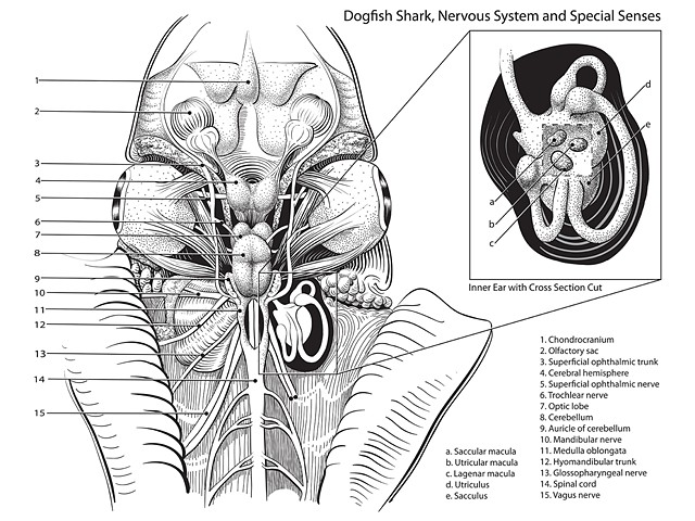 Dogfish Nervous System and Special Senses