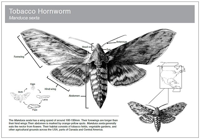 Tobacco Hornworm Scientific Plate