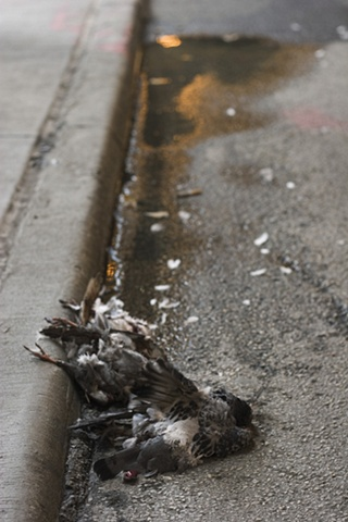 Three Birds Lying in Gutter