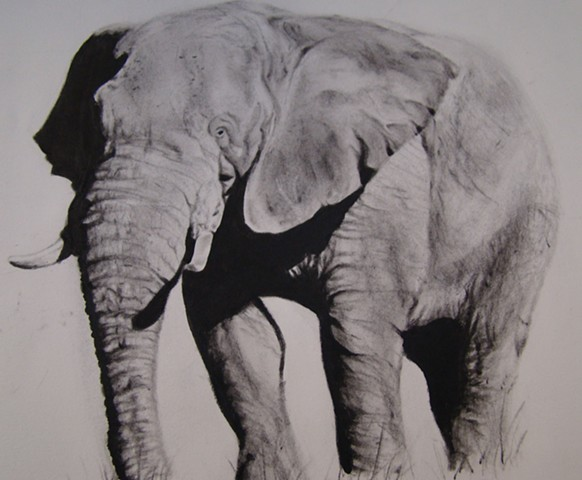 Elephant portrait- charcoal