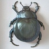 Arabica Sighted scarab
