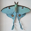 Leguminous Luna moth