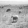 sheep, Fresno County