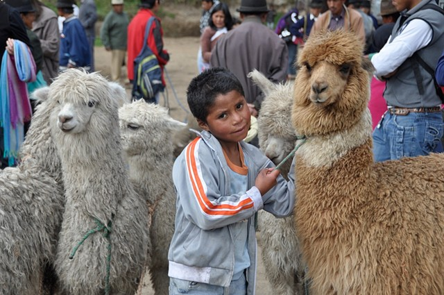 Young boy in market with llamas