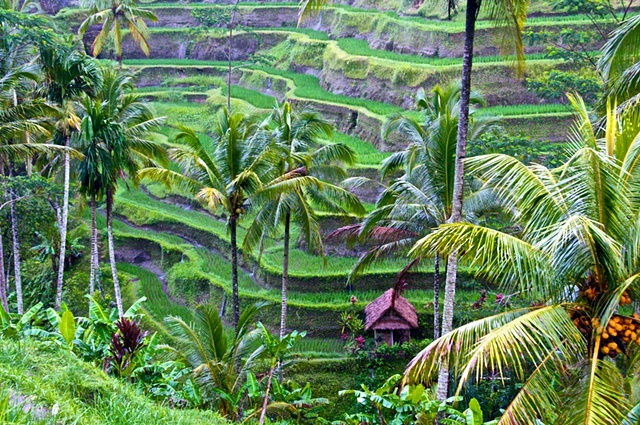 Rice Fields in Tegallalang, Bali