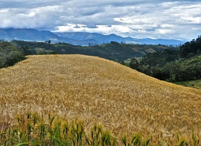 View, wheat, Otavalo Valley, Ecuador