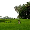 Rice Field #2