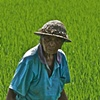 Life in the Rice Field