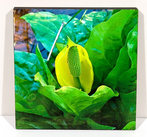 Natural Curves on the Western Skunk Cabbage, Image Transfer on Birch