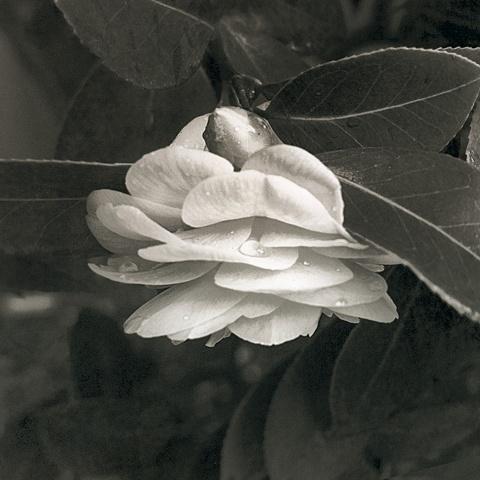 Budding Camellia.  Platinum/Palladium from a digital negative.
