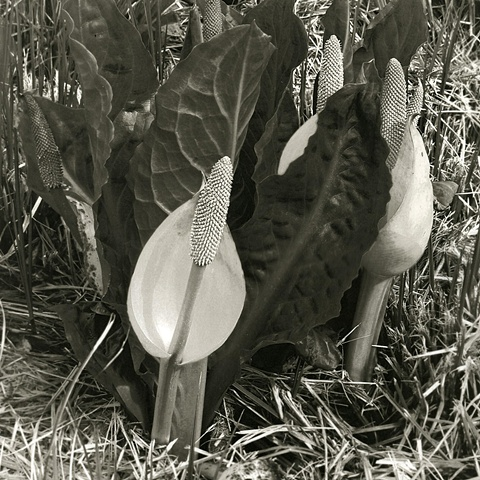 Platinum Print from a digital negative; Western Skunk Cabbage