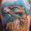David's Red Tailed Hawk