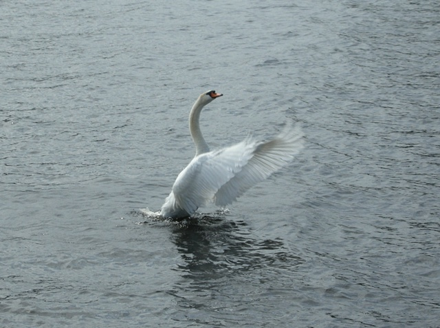 Flapping swan, Michigan