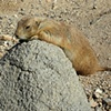Prairie dog sunning on rock