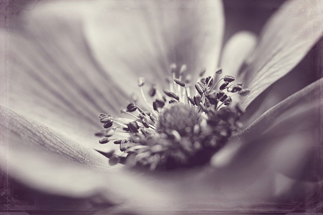 Anemone, wind flower, Belinda Grace Photography, Botanical Fine art, Flora, Flowers, Quad Cities, Moline Illinois, Bucktown Center for the Arts, MidCoast Fine Arts, The ARTery