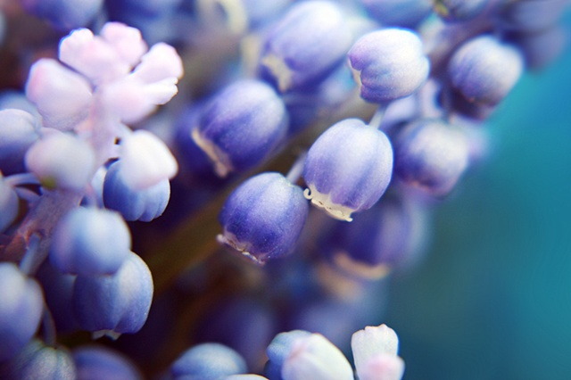 Muscari, Belinda Grace Photography, Botanical Fine art, Flowers, Quad Cities, Moline Illinois, Bucktown Center for the Arts