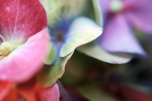 Hydrangea, Hortensia, Belinda Grace Photography, Botanical Fine art, Flora, Flowers, Quad Cities, Moline Illinois, Bucktown Center for the Arts, MidCoast Fine Arts, The ARTery