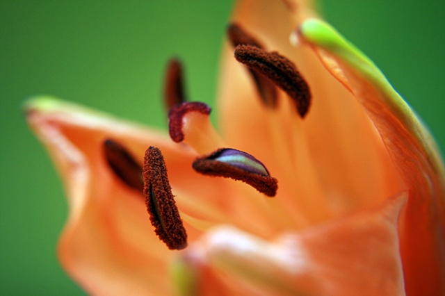 Lilium bulbiferum, Orange Lily, Fire Lily ,Tiger Lily, Belinda Grace Photography, Botanical Fine art, Flora, Flowers, Quad Cities, Moline Illinois, Bucktown Center for the Arts, MidCoast Fine Arts, The ARTery