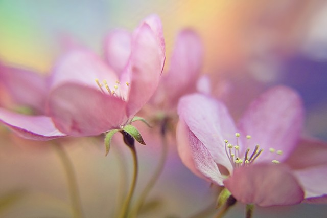 Cornus, Dogwood, Belinda Grace Photography, Botanical Fine art, Flora, Flowers, Quad Cities, Moline Illinois,Bucktown Center for the Arts, MidCoast Fine Arts, The ARTery