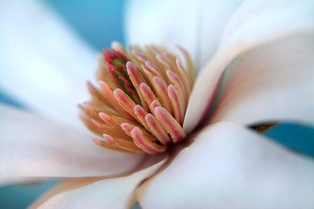 Magnolia, Yoloxochitl, Belinda Grace Photography, Botanical Fine art, Flora, Flowers, Quad Cities, Moline Illinois, Bucktown Center for the Arts, MidCoast Fine Arts, The ARTery