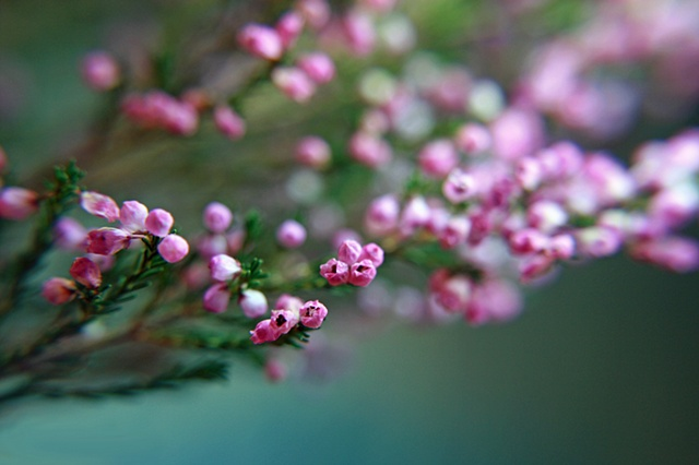 Calluna vulgaris, Heather, Belinda Grace Photography, Botanical Fine art, Flowers, Quad Cities, Moline Illinois, Bucktown Center for the Arts