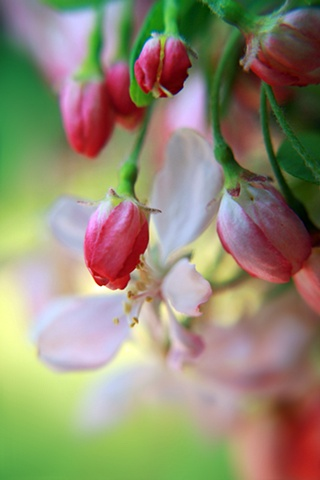 Cornus, dogwood, Belinda Grace Photography, Botanical Fine art, Flora, Flowers, Quad Cities, Moline Illinois, Bucktown Center for the Arts, MidCoast Fine Arts, The ARTery