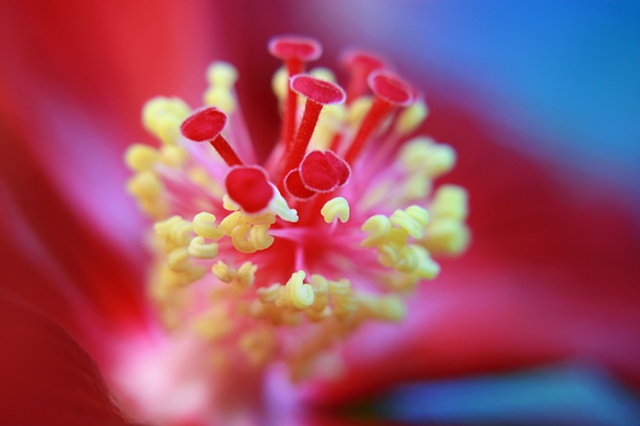 Hibiscus, Belinda Grace Photography, Botanical Fine art, Flowers, Quad Cities, Moline Illinois, Bucktown Center for the Arts